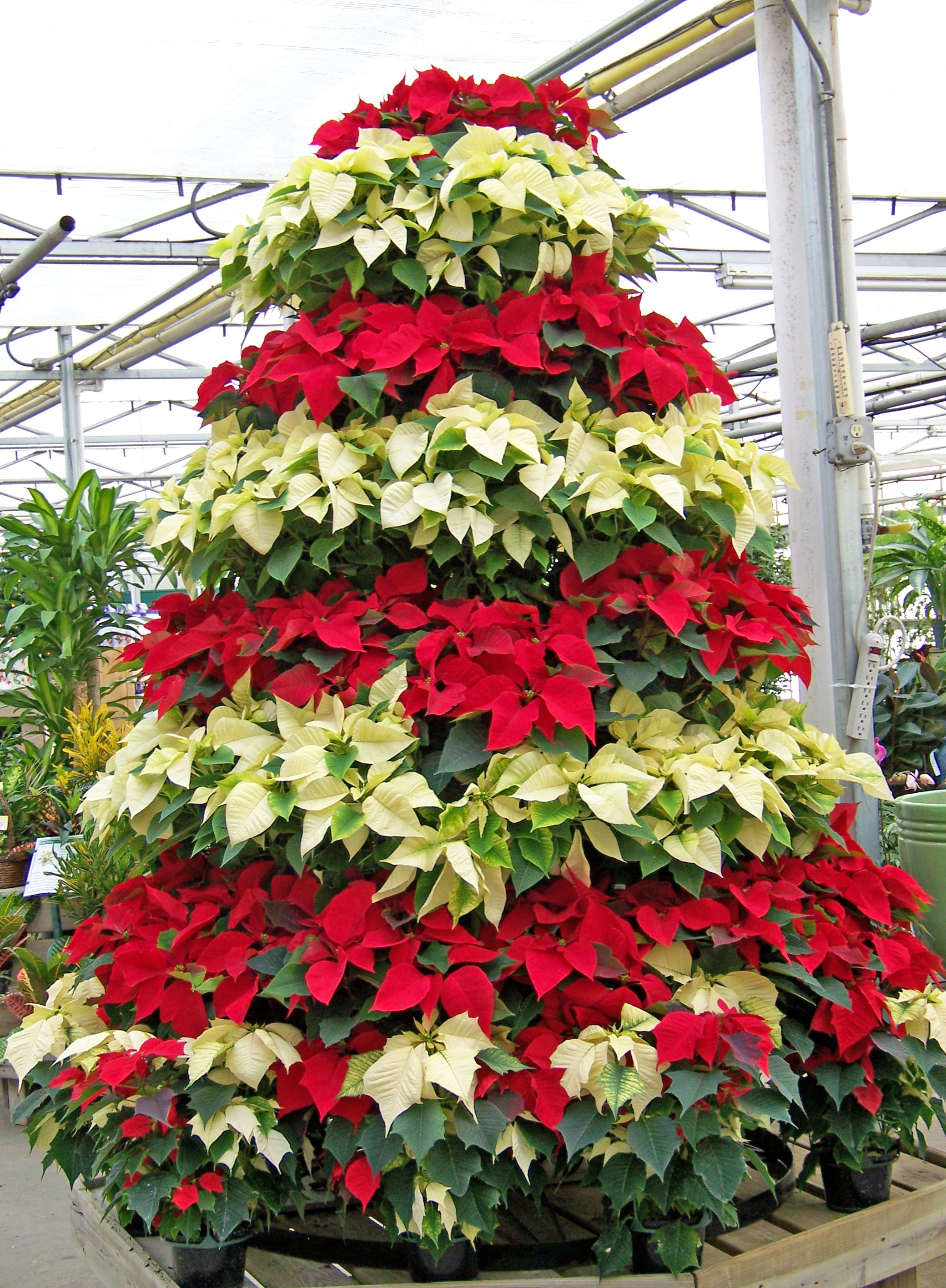 national poinsettia day at Krohn Conservatory